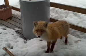 Good Christ the Fox on Porch